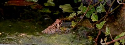 Frog in pond from Chafford Gorge.jpg