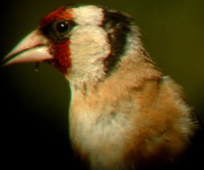 Goldfinch Portrait web.jpg