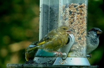 Greenfinch and Sparrow web.jpg