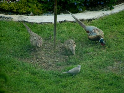 Pheasants and pidgeon.jpg