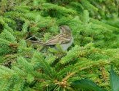 sparrow in conifer.jpg