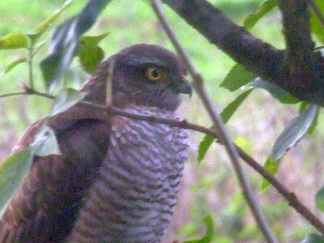 Sparrowhawk-FG-sept-07.jpg