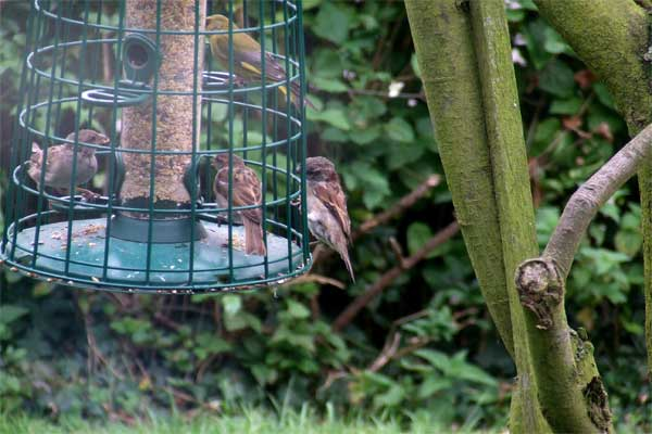 sparrows-on-feeder.jpg