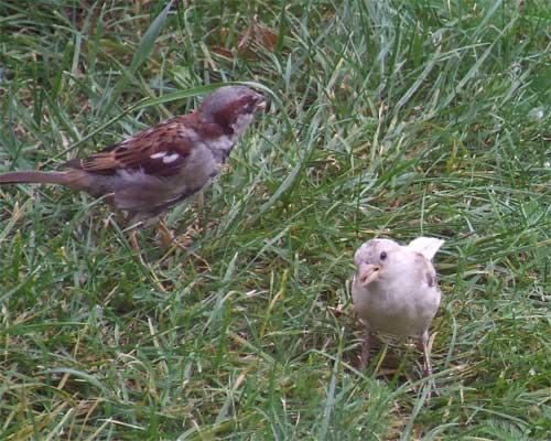 white-sparrow2.jpg