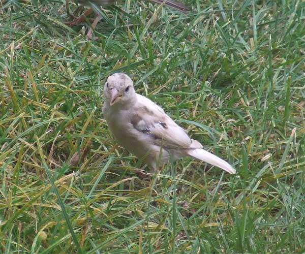 white-sparrow3.jpg